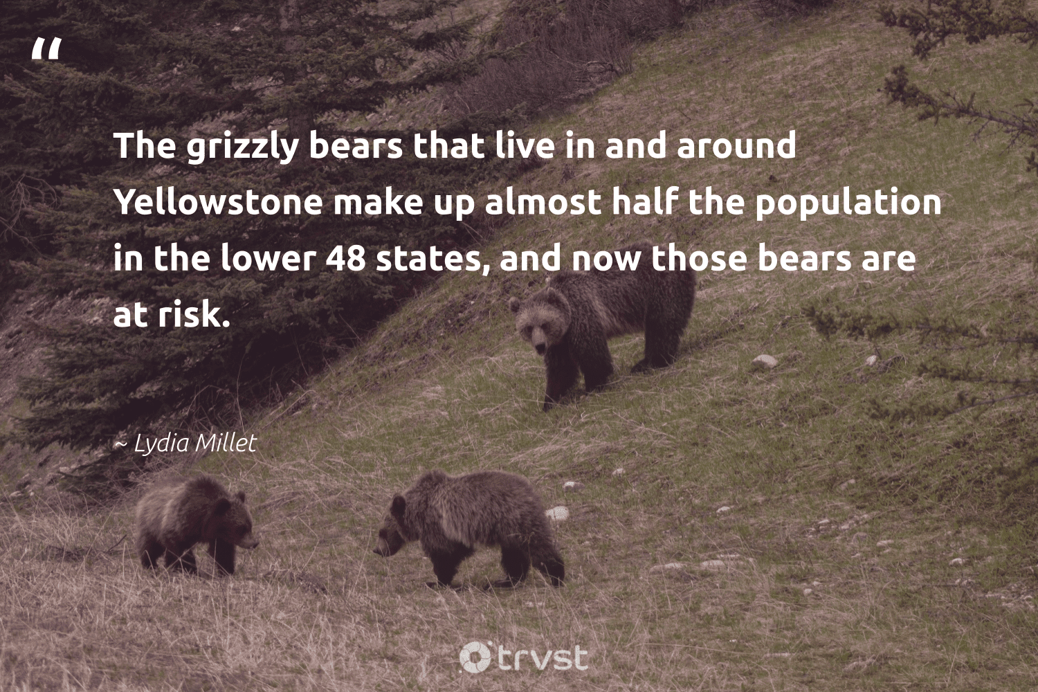 """""""The grizzly bears that live in and around Yellowstone make up almost half the population in the lower 48 states, and now those bears are at risk.""""  - Lydia Millet #trvst #quotes #bears #wildlifeprotection #socialchange #majesticwildlife #changetheworld #biodiversity #bethechange #bear #dotherightthing #bearlove"""