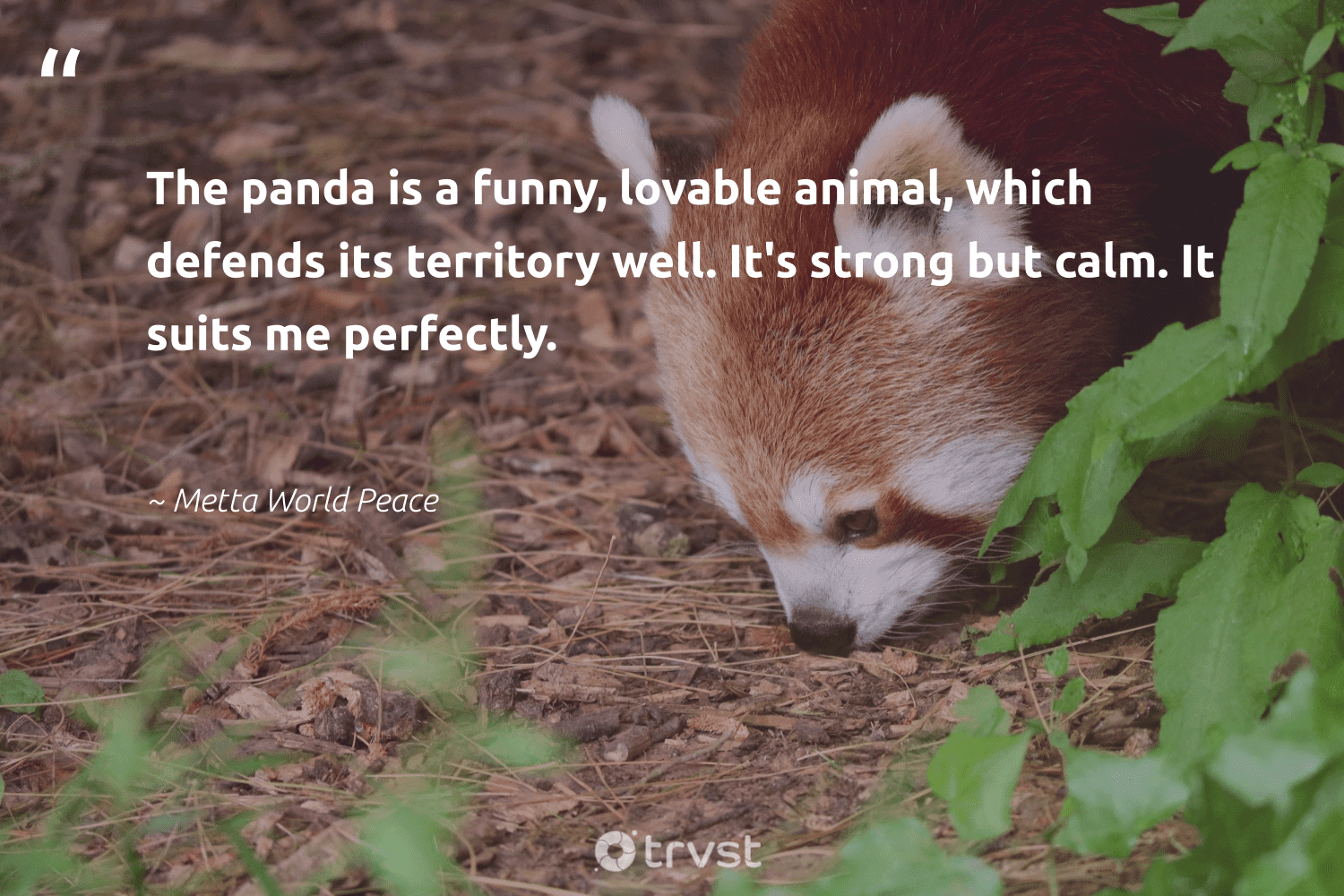 """""""The panda is a funny, lovable animal, which defends its territory well. It's strong but calm. It suits me perfectly.""""  - Metta World Peace #trvst #quotes #animal #wildlife #amazingworld #geology #planetearthfirst #animals #protectnature #natural #socialimpact #animallovers"""