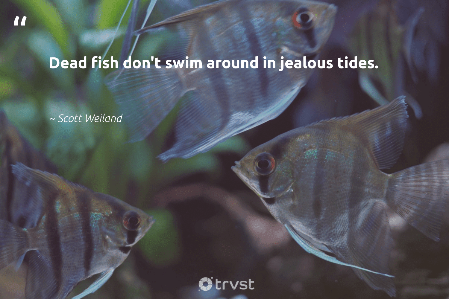 """""""Dead fish don't swim around in jealous tides.""""  - Scott Weiland #trvst #quotes #fish #savetheoceans #dosomething #sustainablefishing #socialchange #conservation #takeaction #perfectnature #planetearthfirst #marinelife"""