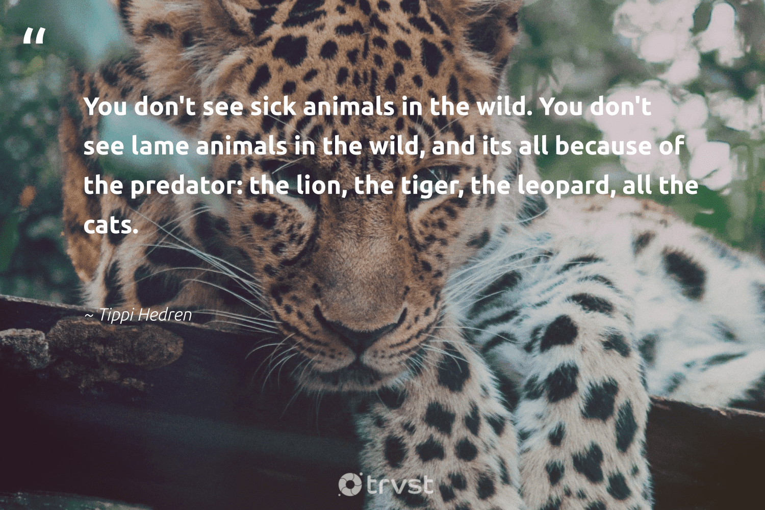 """""""You don't see sick animals in the wild. You don't see lame animals in the wild, and its all because of the predator: the lion, the tiger, the leopard, all the cats.""""  - Tippi Hedren #trvst #quotes #tiger #animals #leopard #wild #wildlife #biodiversity #nature #bethechange #animallovers #leopards"""