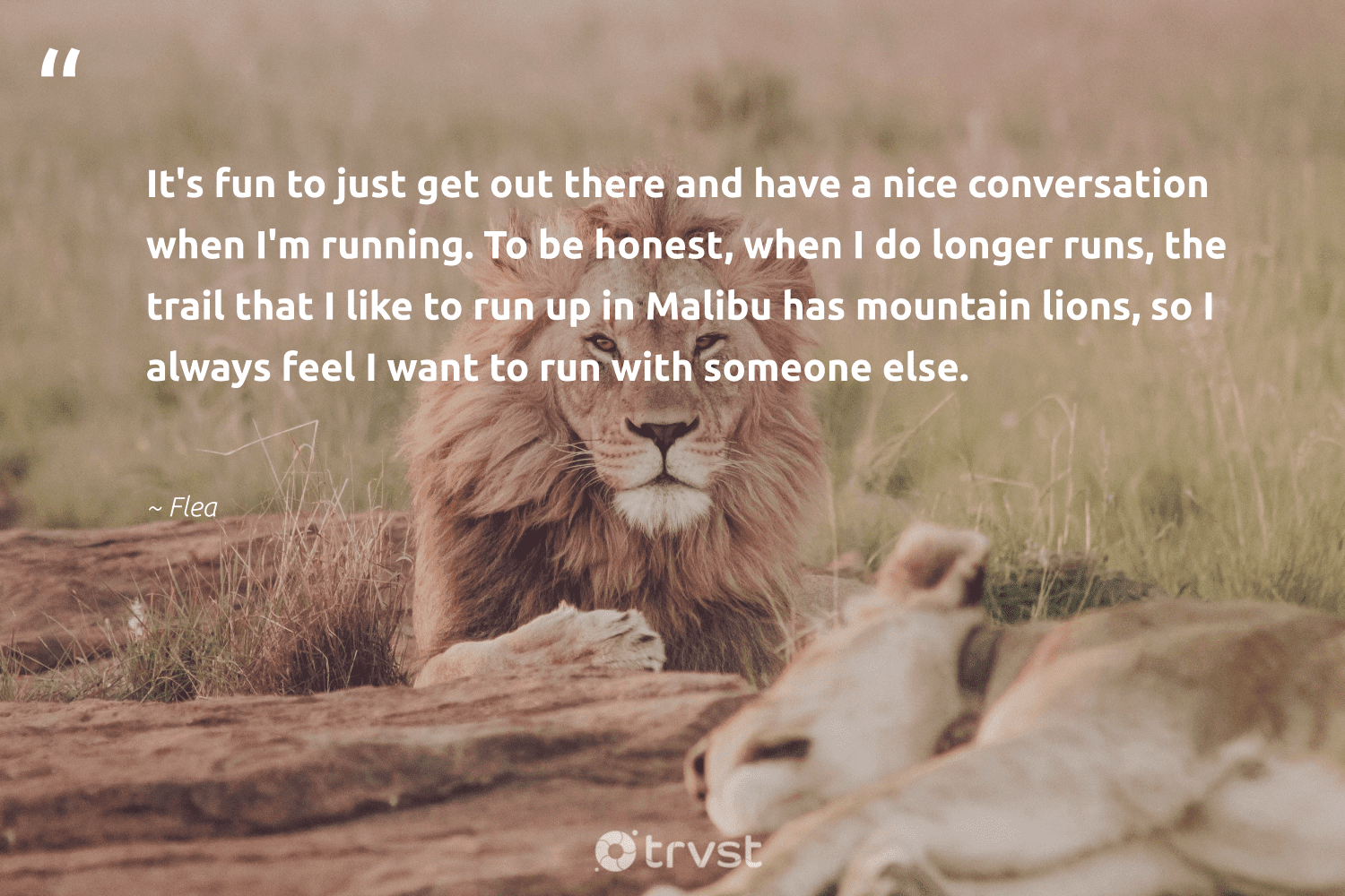 """""""It's fun to just get out there and have a nice conversation when I'm running. To be honest, when I do longer runs, the trail that I like to run up in Malibu has mountain lions, so I always feel I want to run with someone else.""""  - Flea #trvst #quotes #mountain #lions #sustainability #bethechange #wildlife #ecoconscious #protectnature #socialimpact #perfectnature #dotherightthing"""