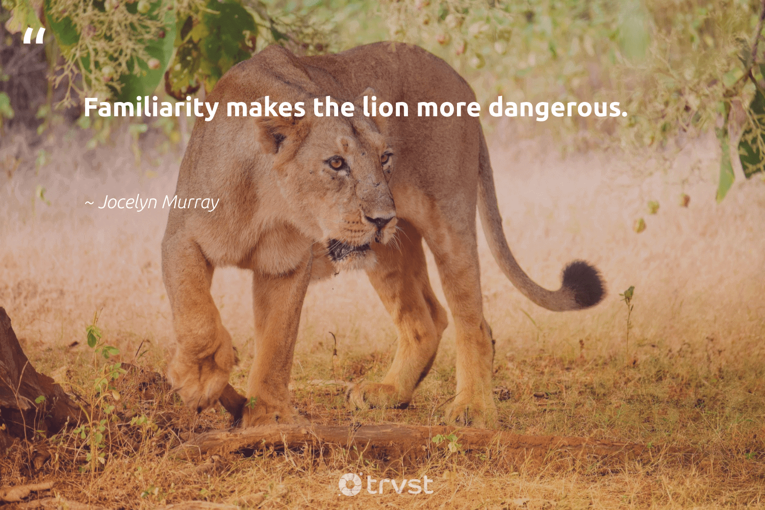 """""""Familiarity makes the lion more dangerous.""""  - Jocelyn Murray #trvst #quotes #lion #nature #dotherightthing #biodiversity #bethechange #protectnature #takeaction #amazingworld #planetearthfirst #sustainability"""