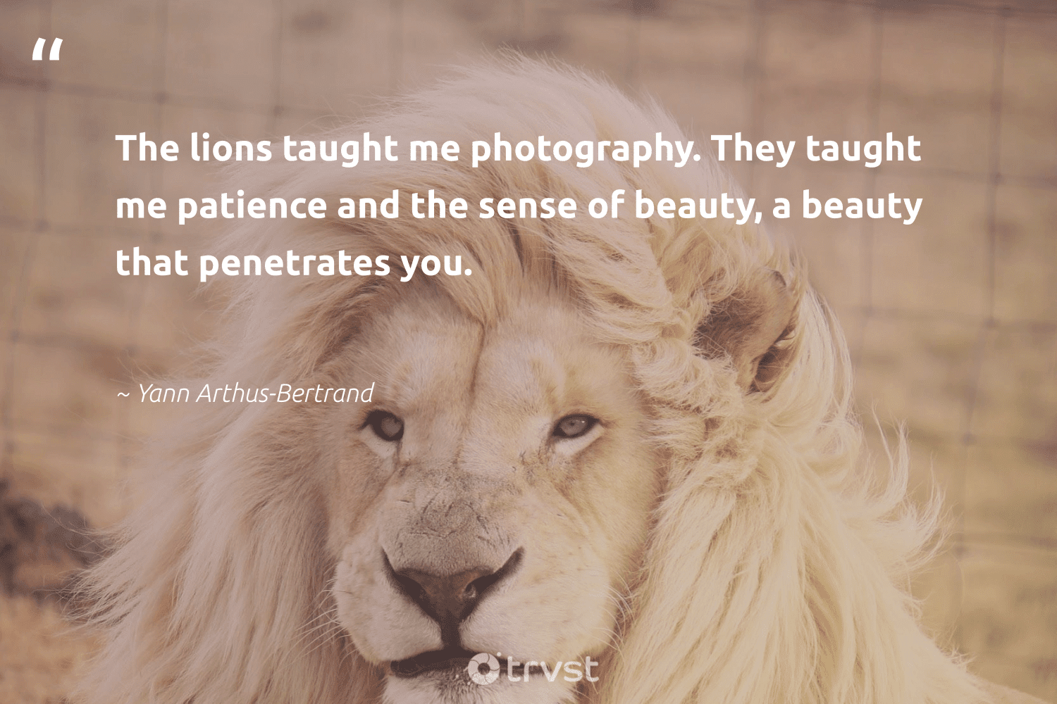 """""""The lions taught me photography. They taught me patience and the sense of beauty, a beauty that penetrates you.""""  - Yann Arthus-Bertrand #trvst #quotes #beauty #lions #conservation #takeaction #sustainability #impact #big5 #planetearthfirst #majesticwildlife #beinspired"""