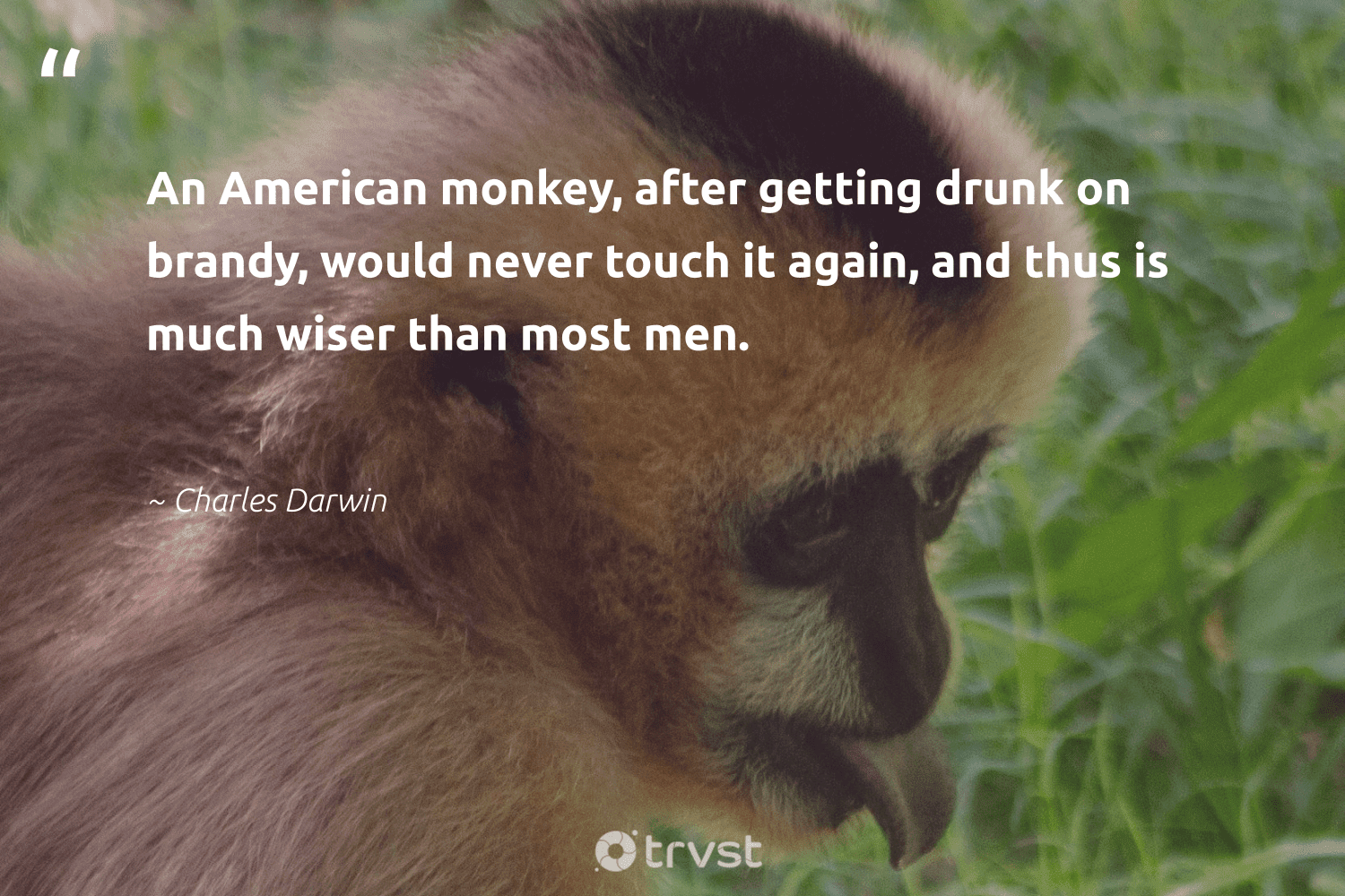 """""""An American monkey, after getting drunk on brandy, would never touch it again, and thus is much wiser than most men.""""  - Charles Darwin #trvst #quotes #monkey #wild #thinkgreen #animalphotography #impact #splendidanimals #collectiveaction #wildlifeprotection #bethechange #majesticwildlife"""