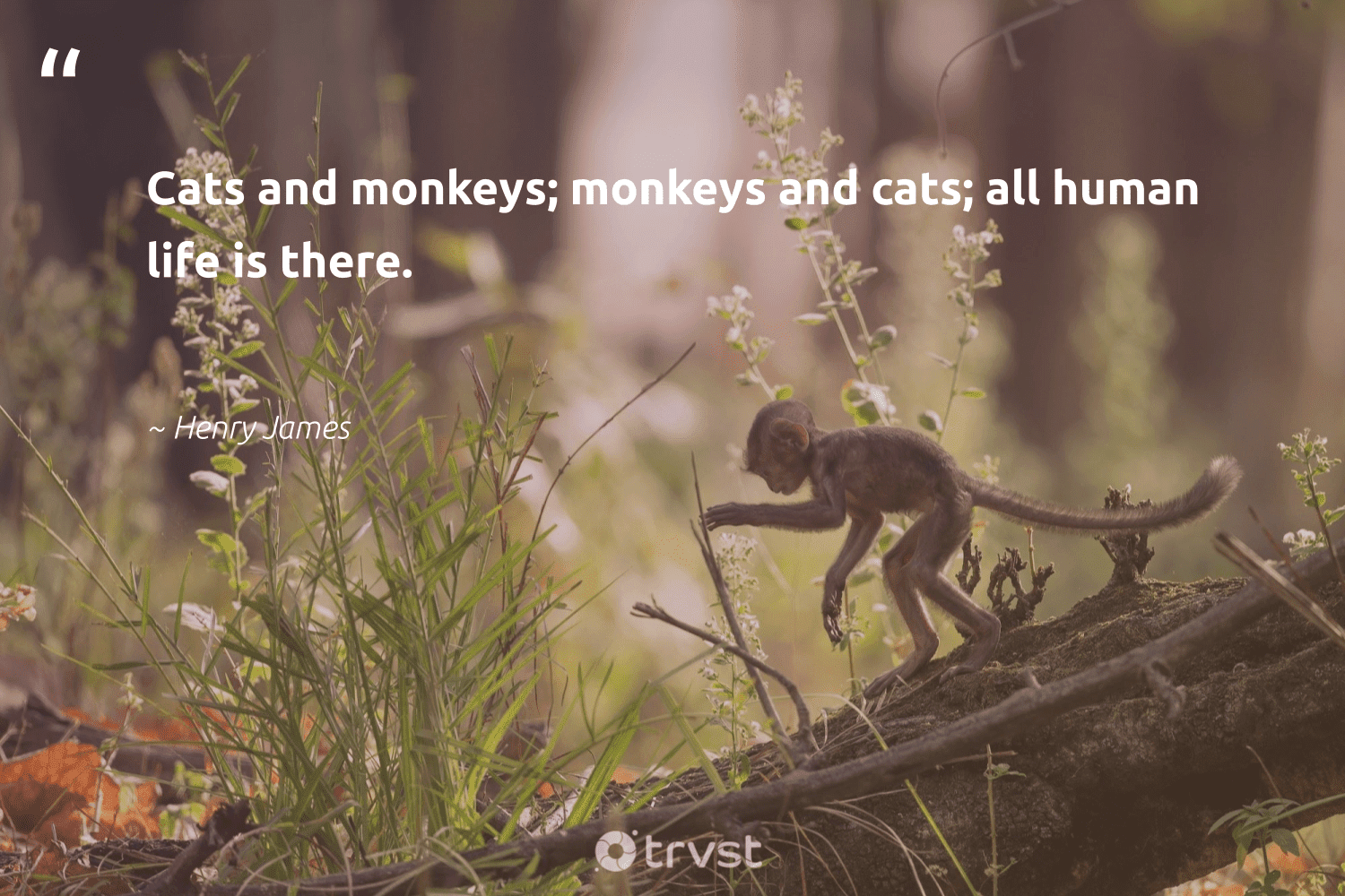 """""""Cats and monkeys; monkeys and cats; all human life is there.""""  - Henry James #trvst #quotes #monkeys #sustainability #bethechange #protectnature #dogood #splendidanimals #impact #majesticwildlife #collectiveaction #monkeylife"""