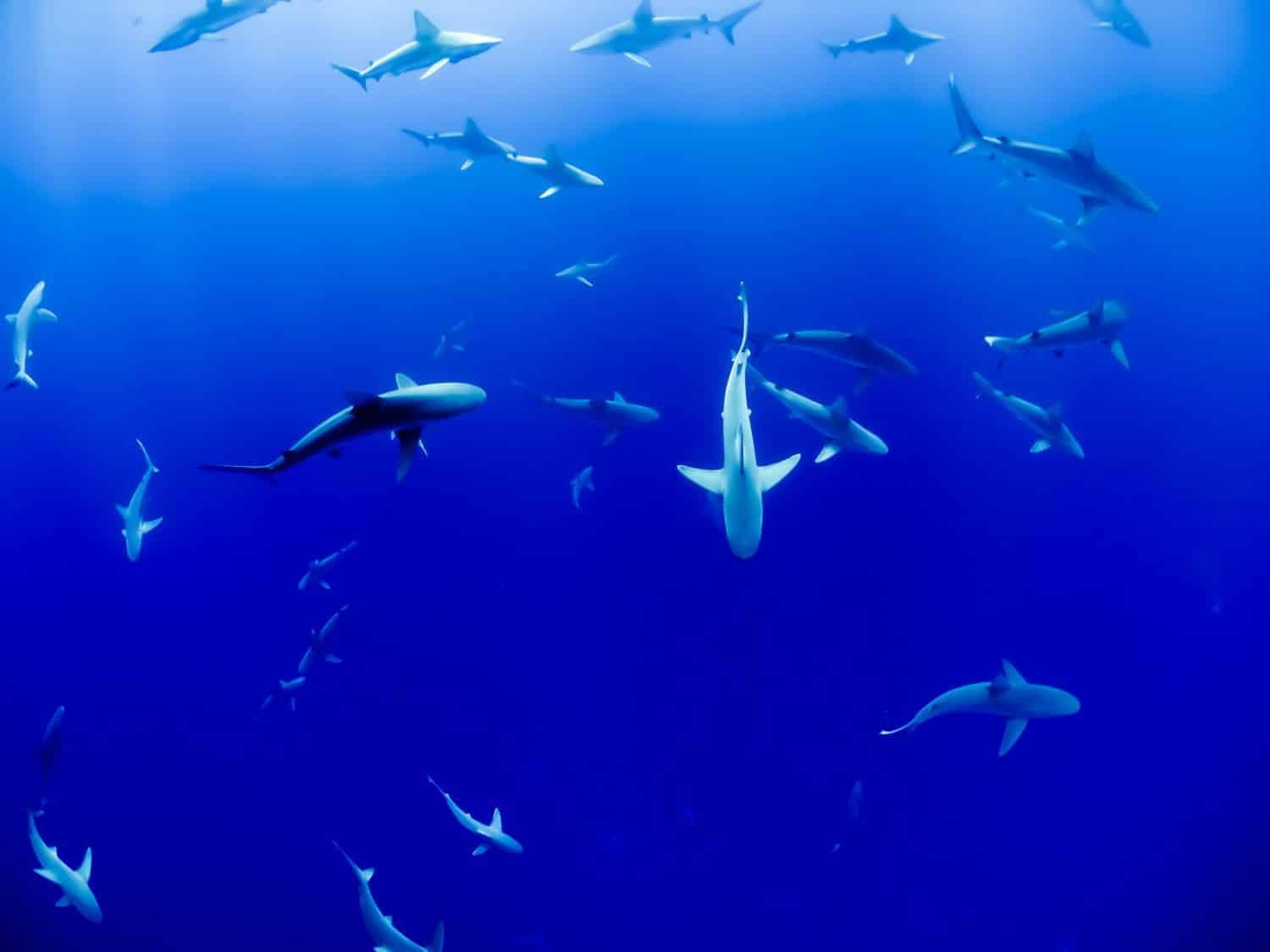 A group of sharks in deep blue water.