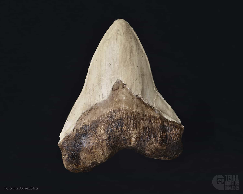Dente de Tubarão: Carcharodon megalodon