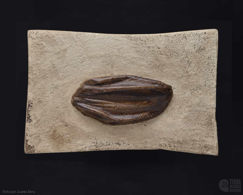 Dente de Iguanodonte: Iguanodon sp