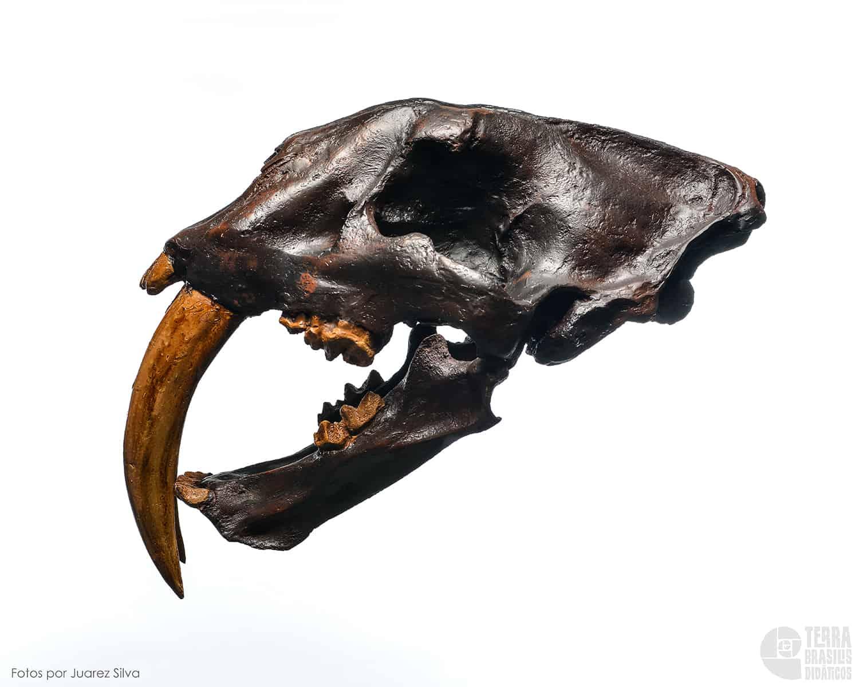 Crânio: Tigre-dente-de-sabre – Smilodon californicus