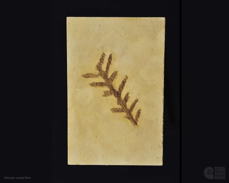 Ramo de Brachyphyllum obesum