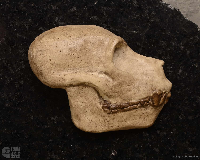 Hemicrânio direito de Aegyptopithecus zeuxis