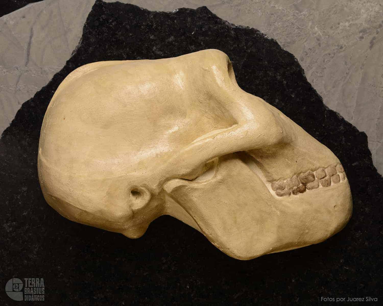 Hemicrânio direito de Paranthropus (Australopithecus) robustus