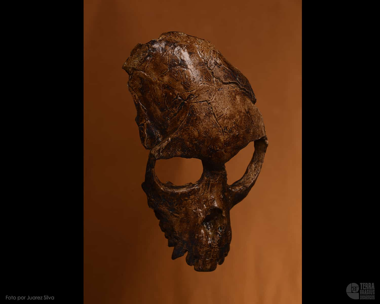 Crânio de Proconsul africanus