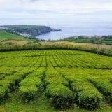 Azory – europejska herbata i Lagoa do Fogo