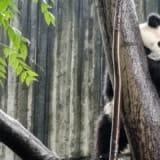 Chengdu, Chiny – Pandy i wiele więcej!