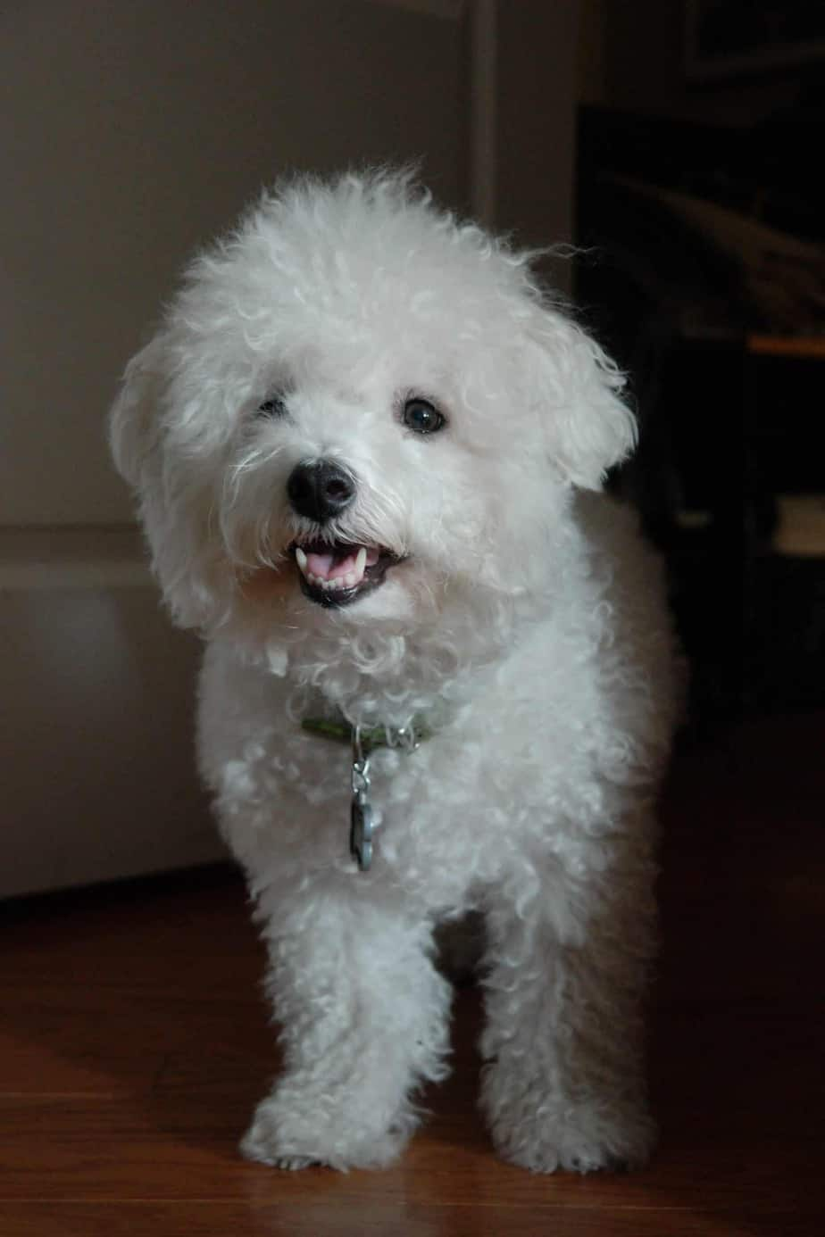 Bichon Frise top 5 cleanest dog breed