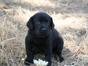 Crate Training - Potty Training your Labrador Puppy 101