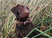 Common Allergens Around California for Your Labrador Puppy and How to Deal with Them