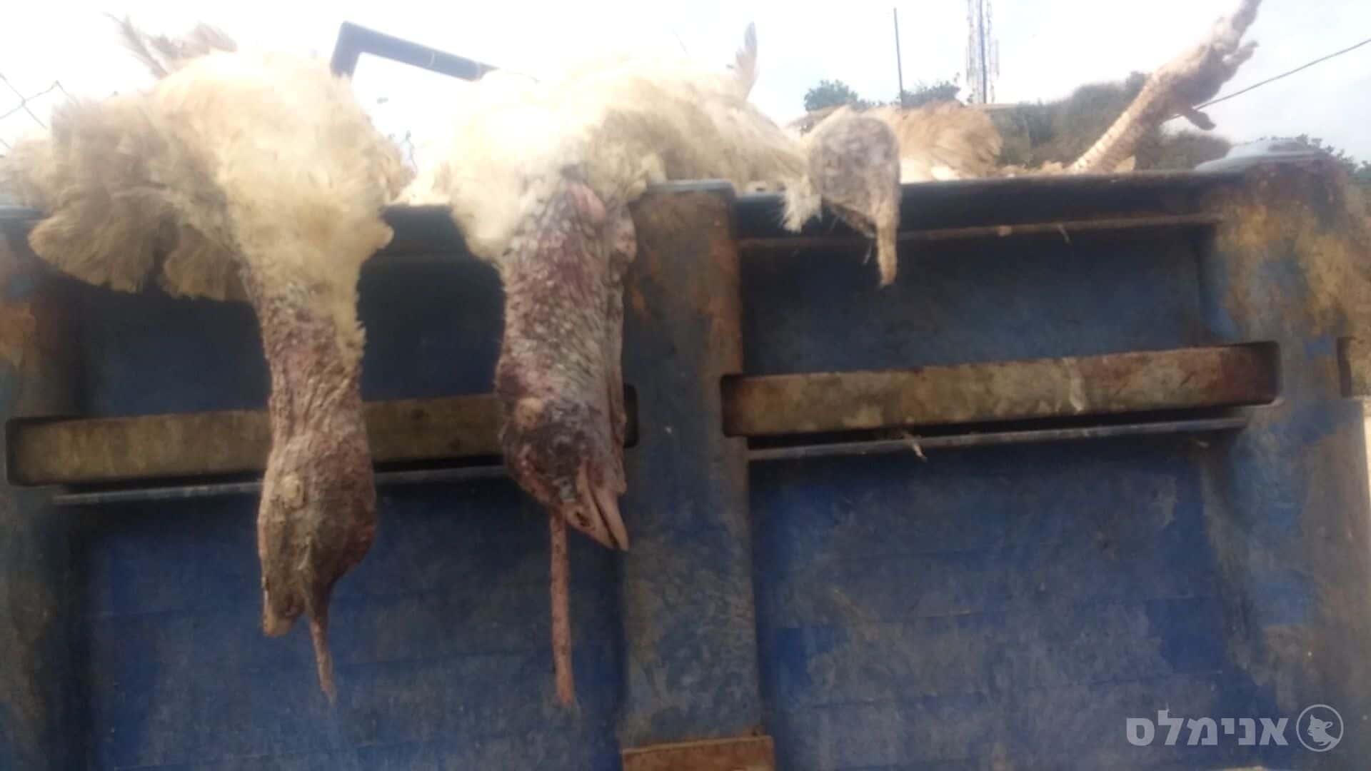 תרנגולי הודו מפרפרים למוות