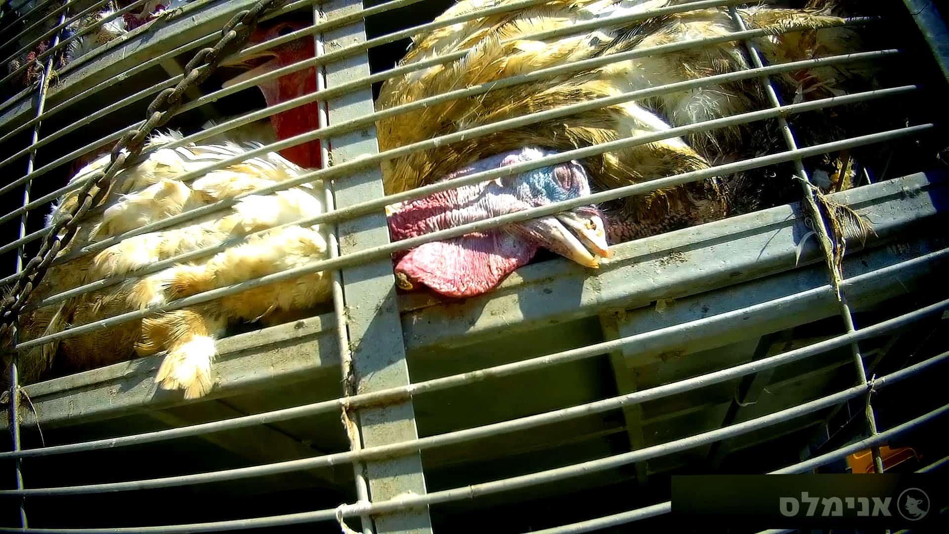 תרנגול הודו סובל