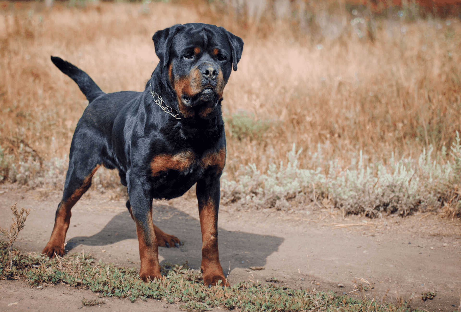 Male Rottweiler in mahogany and black color.