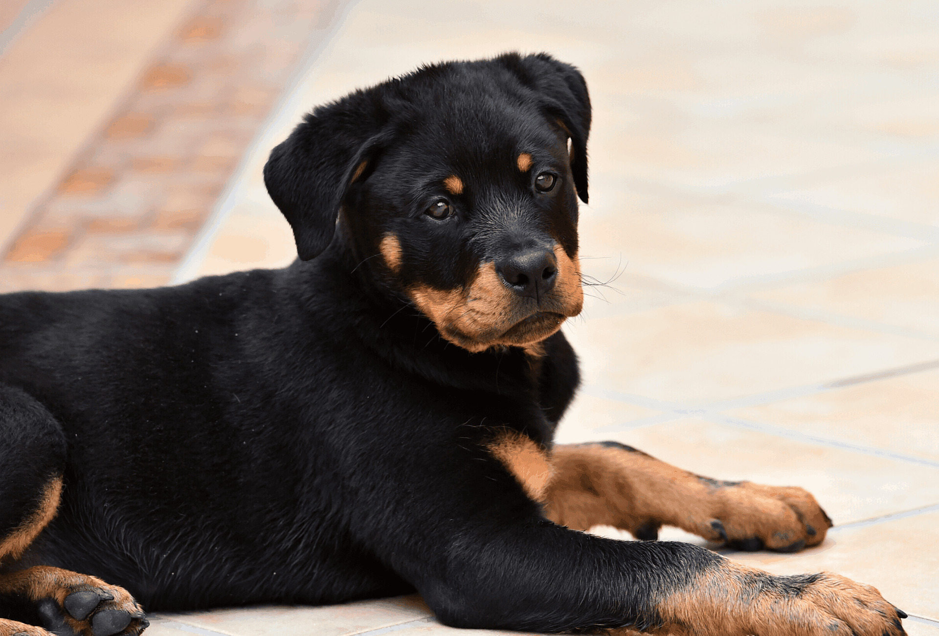 Black and tan Rottweiler puppy with markings that are too light.