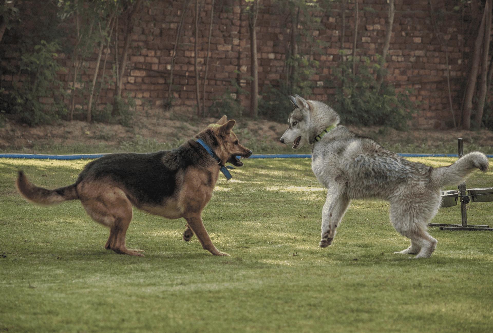 German Shepherd playing with Husky in the yard.