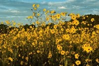 Ron Perkins Pepper Ranch 1 Sunflowers in Florida: 'Stunning' fall scene in Immokalee preserve