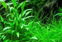 The Best Low Light Ground Cover Aquarium Plants Cryptocoryne X Willisii