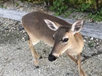 Key Deer in Big Pine Key within the National Key Deer Refuge. (Photo: Bonnie Gross)