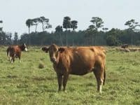 Cow in pasture on cattle ranch in Florida.