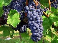 Sangiovese Grape Characteristics & Wine Profile | Winetraveler.com