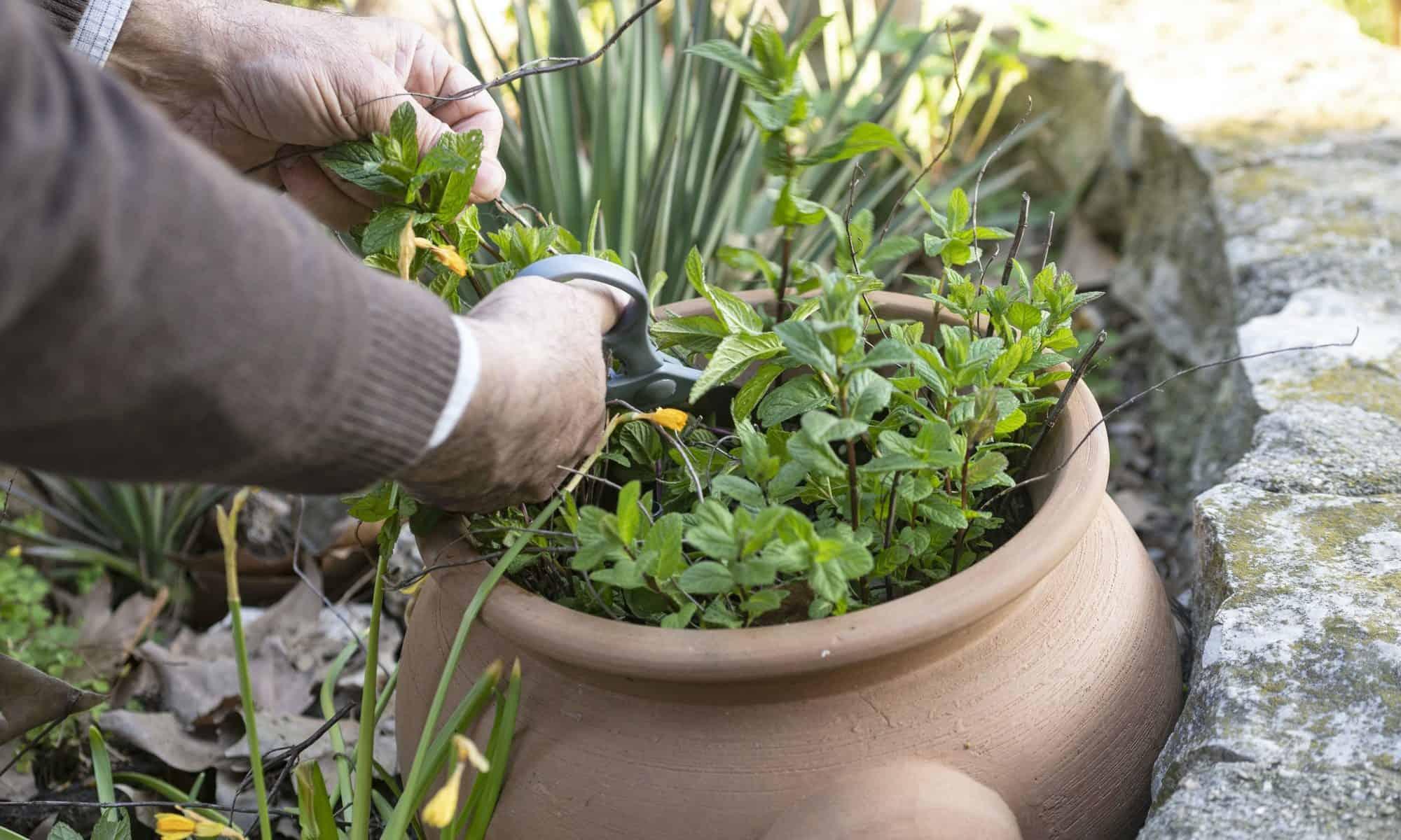 gardening the mint