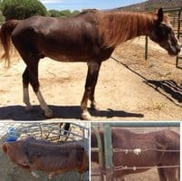 Charges Recommended in California Horses' Deaths