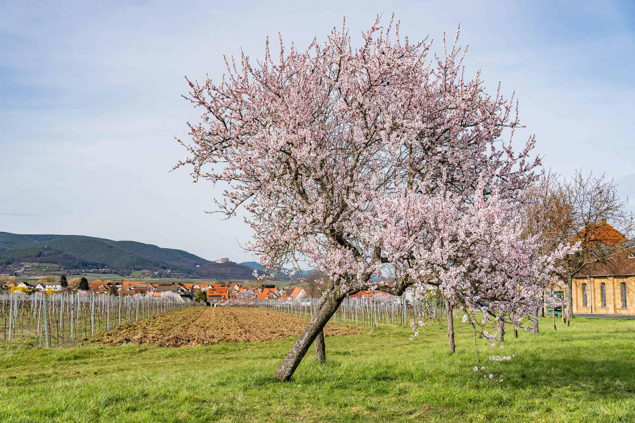 Mandelblüte Edenkoben