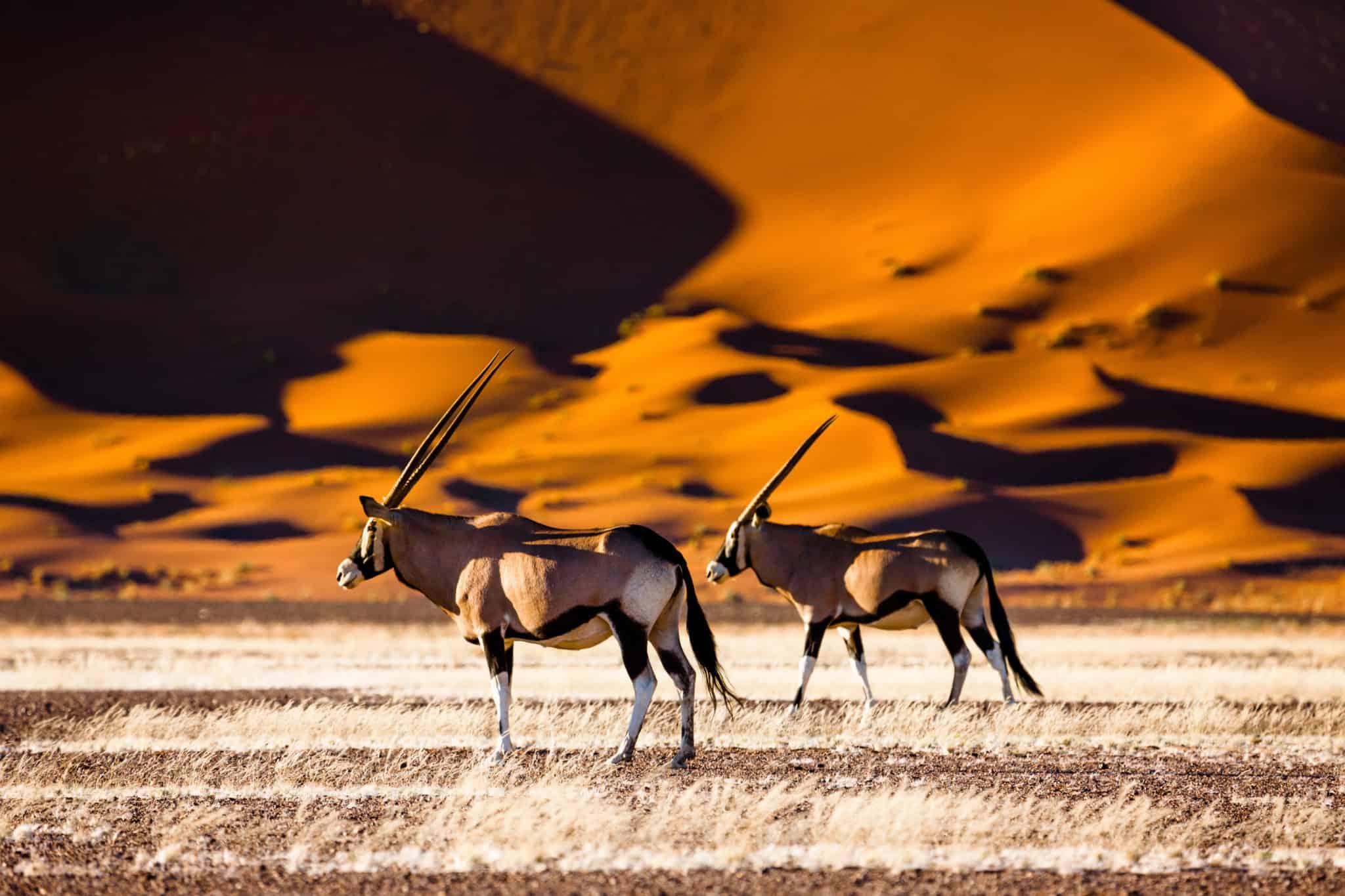 Oryxantilopen im Sossusvlei in Namibia