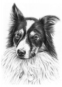 Portrait Drawing of Border Collie