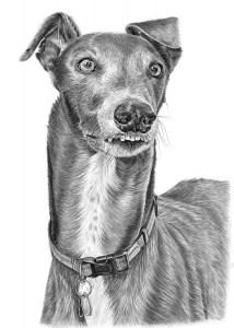 Pencil Drawing of Greyhound