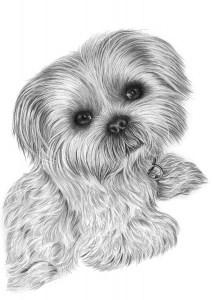 Pencil Portrait of Shih Tzu
