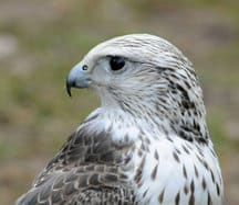 saker_falcon