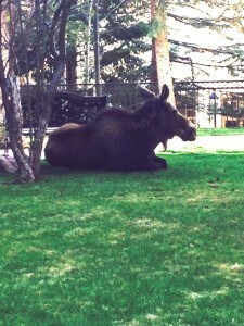 Oh, and the moose are lumbering.  This was taken just outside Darci's front door on Tuesday.  She was late for work.