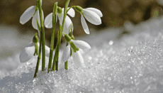 snowdrop showing crypto-winter