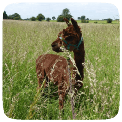 alpaca in grass