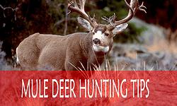 Mule Deer Hunting Tips