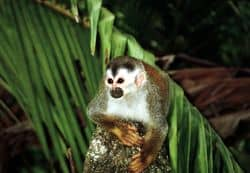 gp_588_800px-squirrel_monkey1