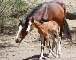 Forest Service Withdraws Plans to Remove Salt River Wild Horses