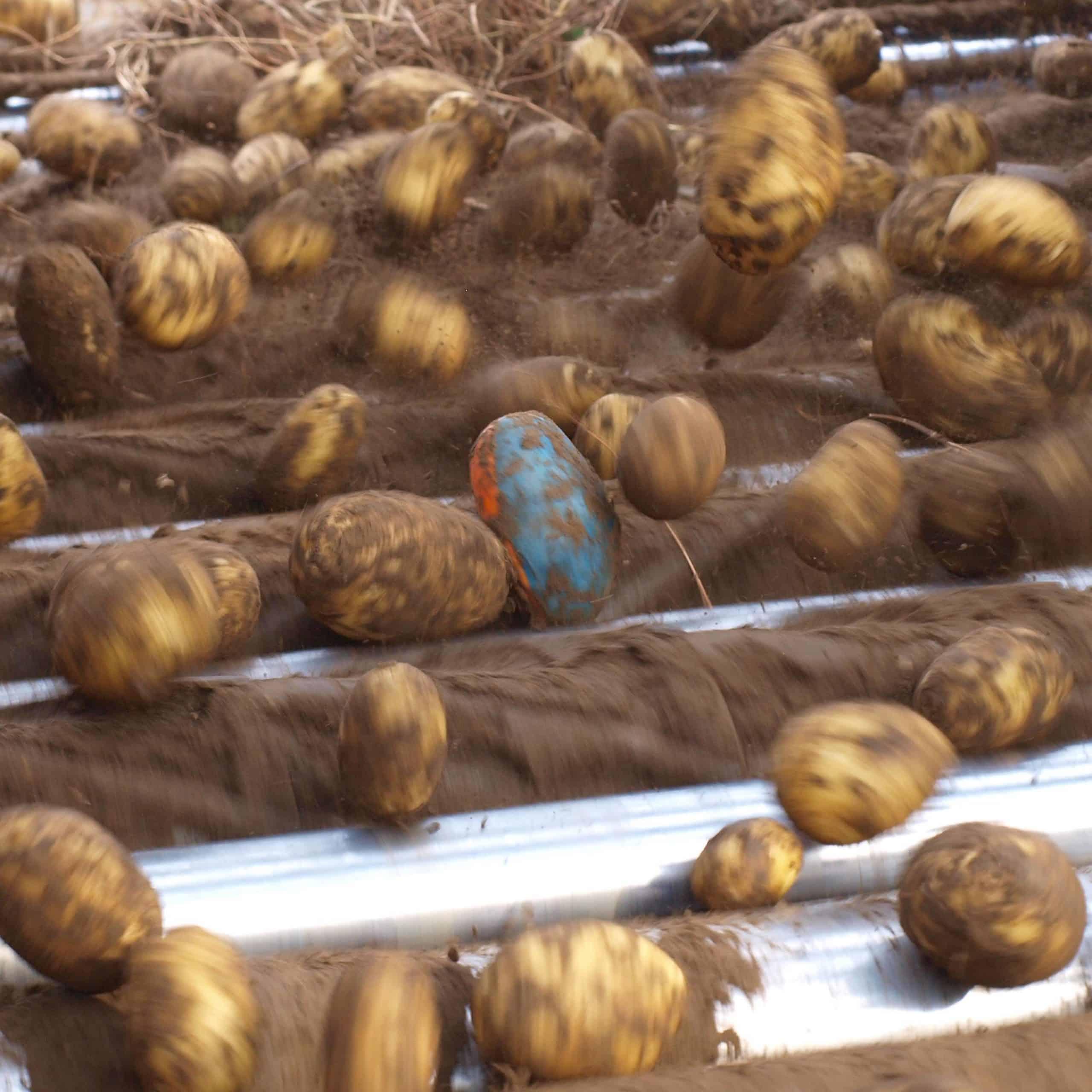 tuberlog electronic potato used by potato growers to help fine tune harvesting equipment