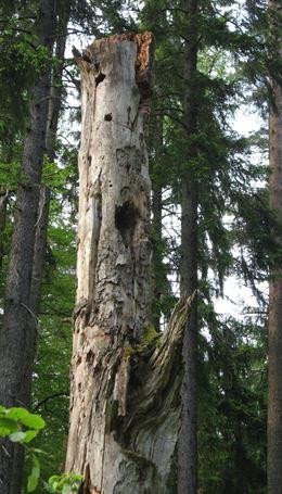 Der Erhalt und die Förderung älterer morscher Bäume nützt dem Habichtskauz