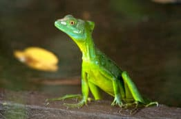 lizard in costa rica