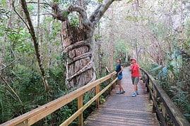 Strangler fig along Big Cypress Bend Boardwalk along the Tamiami Trail, just beyond Big Cypress Preserve. (Photo: David Blasco)